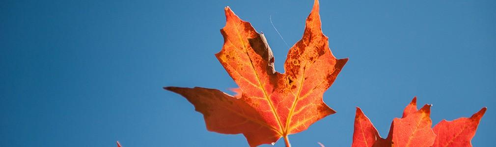 Esdoornblad in de vlag van Canada