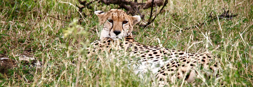 Een Cheeta in de Masai Mara