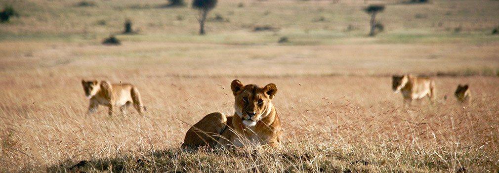 Leeuwen spotten op safari in Kenia