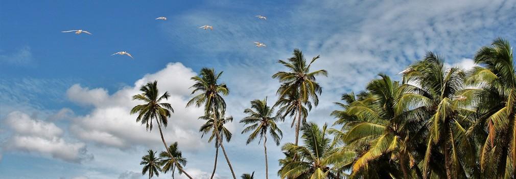 Palmbomen in Sri Lanka
